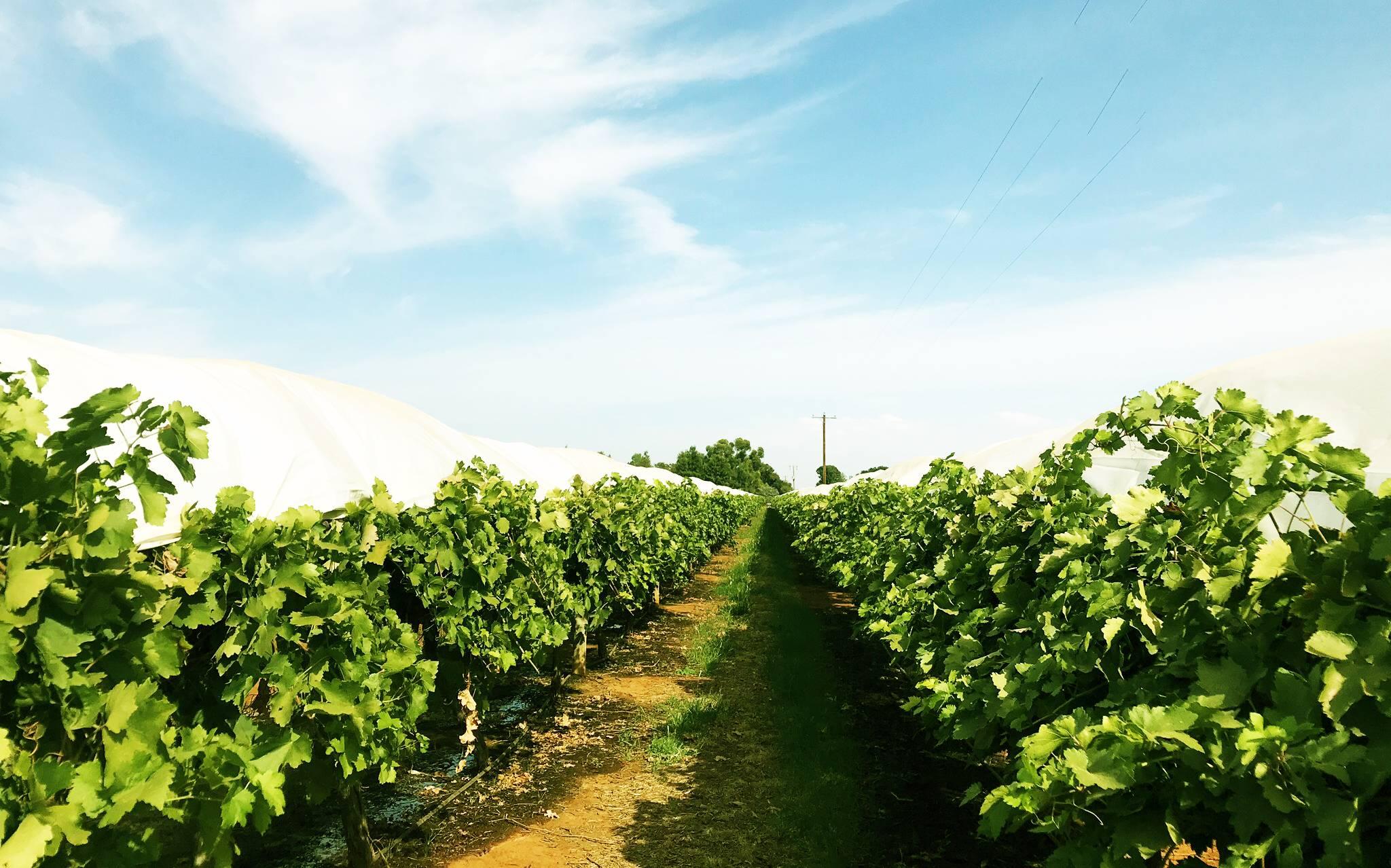 Nho Khô Nguyên Cành Úc - Thompson Grapes Adora ST Food 1kg